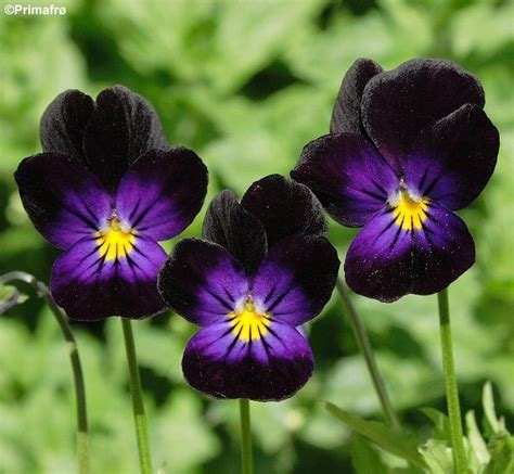 17 best images about viola on pinterest flower wallpaper flower pictures and search