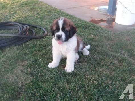 bernard puppies for sale in california st bernard puppies for sale in hesperia california classified americanlisted