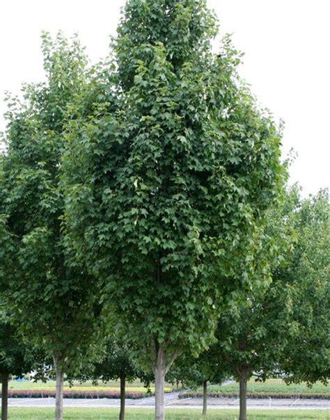 karpick maple tree grobe s nursery and garden centre newest trees