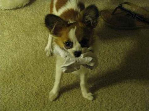 chion puppies chion papillon chihuahua mix info temperament puppies pictures