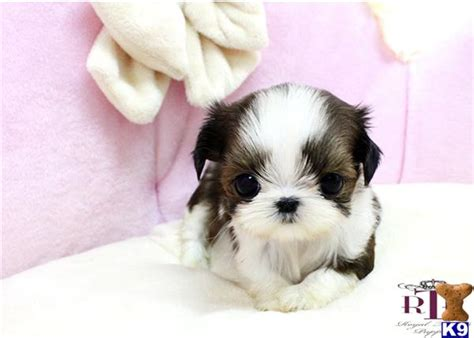 teacup shih tzu puppies for sale near me pennsylvania malshi puppies malteseshih tzu mix philidelphia breeds picture