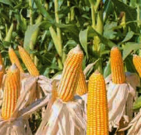 Furadan Untuk Jagung pusat penelitian dan pengembangan tanaman pangan