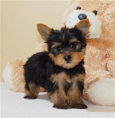 free puppies evansville in pets evansville in free classified ads