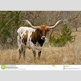 Texas Longhorn standing in brush. This is an icon of Texas. Some horns ...