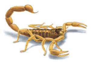 Bugs In Bed Not Bed Bugs Pictures Of Scorpions