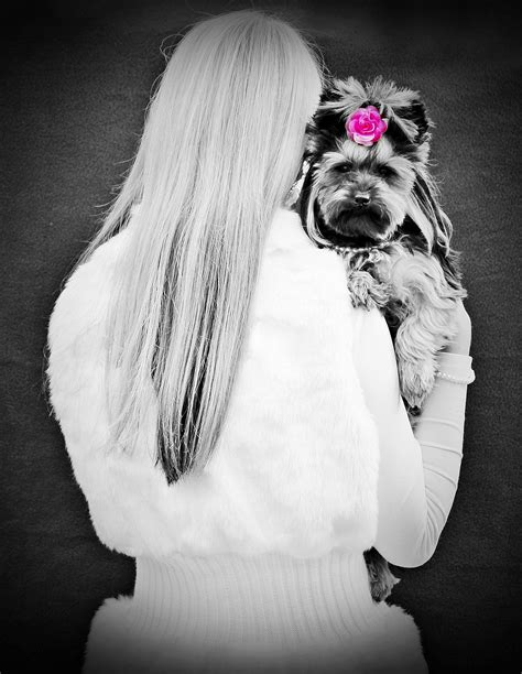 yorkie photoshoot free images black and white fur portrait black white up