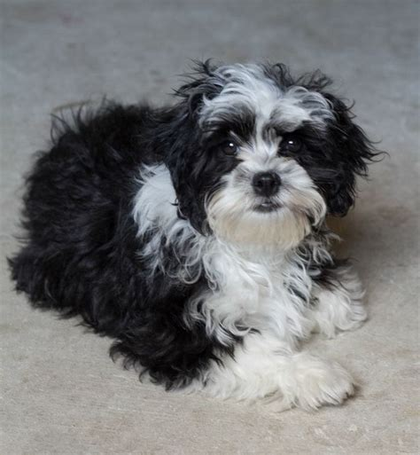 black and white maltese shih tzu black and white shih tzu puppy