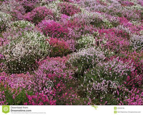 cespuglio con fiori viola fiore dentellare bianco e viola dei cespugli fotografia