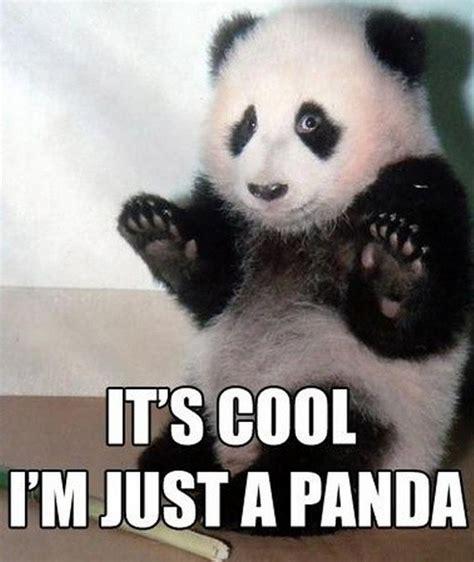 Funny Panda Memes - funny animals pandas 12
