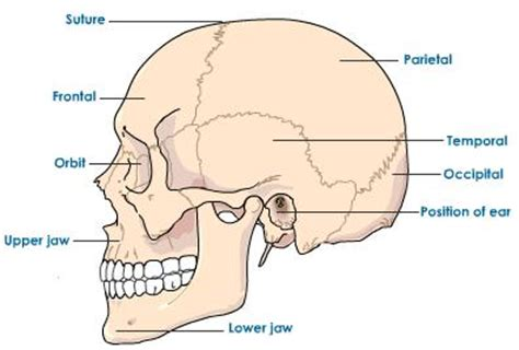 sections of the skull can t move without your bones the skeletal system