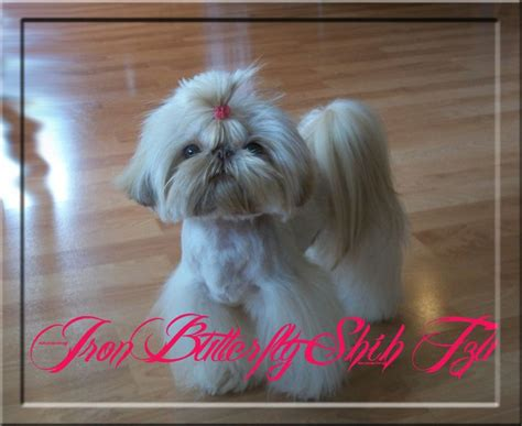 iron butterfly shih tzu 17 best ideas about shih tzu for sale on shih tzu puppy shih tzu and baby