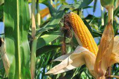 wann mais ernten mais pflanzen 187 alle infos f 252 r einen erfolgreichen anbau
