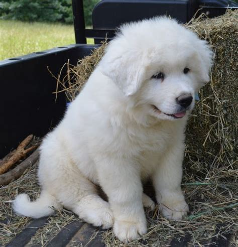 grand pyrenees puppies great pyrenees puppy big beautiful dogs