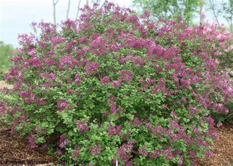 bloomerang 174 dark purple reblooming lilac syringa images proven winners