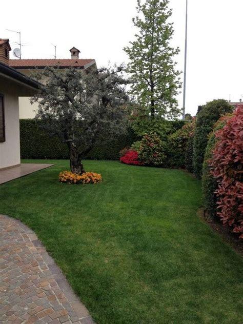 giardino con ulivo foto giardino con siepe mista e ulivo di andrea morlotti