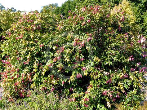 Vertical Garden syzygium cascade cascade lilly pilly information amp photos