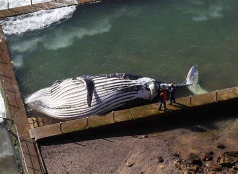 old boat found in sydney giant humpback whale found dead in australian beach