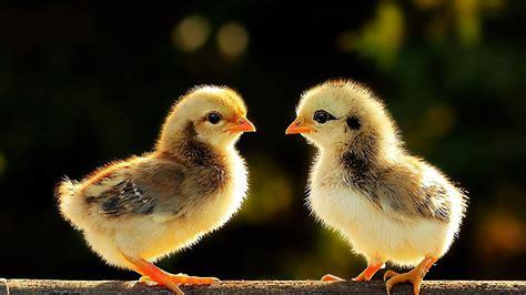 hd chicken backgrounds pixelstalknet