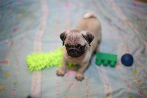 average age of a pug pug puppies for sale ashford kent pets4homes