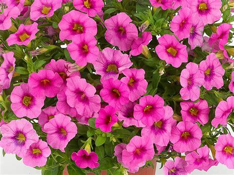 fiori surfinia piante surfinie petunie e surfinie differenza piante