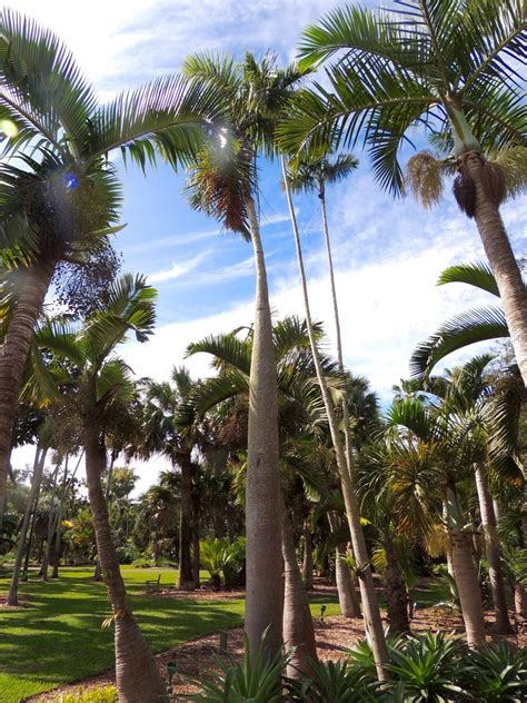 Tropical Botanical Garden Miami Plantfiles Pictures Palm Gaussia Princeps By Palmbob