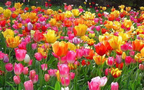 Tulip Flower Garden Tulip Wallpapers Wallpaper Cave