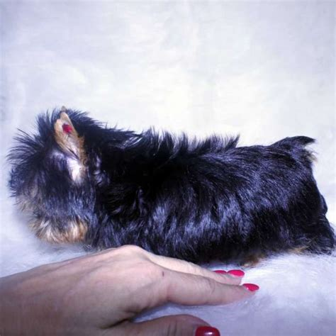 doll yorkies for sale yorkies for sale adopt baby doll yorkie puppy tamra