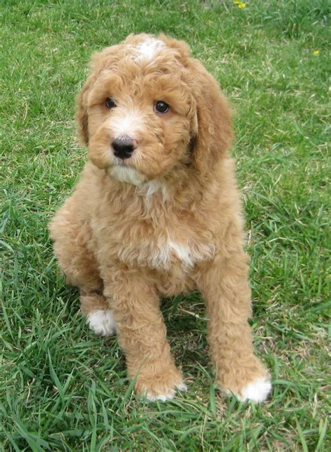 labradoodle puppies florida rainmaker ranch labradoodles fl breeds picture