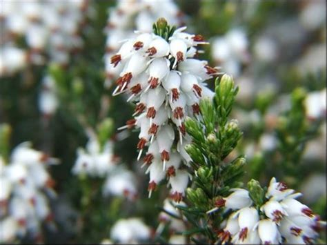 fiori di erica erica fiore linguaggio dei fiori il fiore dell erica