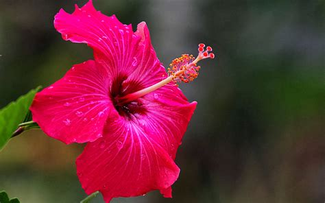 wallpaper flower red wallpapers pink hibiscus flower wallpapers