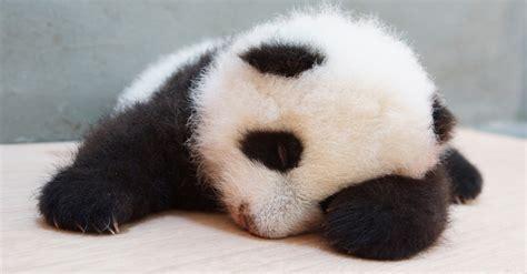 fotos de grupo panda bichos da semana bol fotos bol fotos