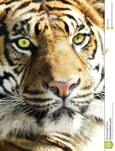imagenes de tigres verdes face do tigre olhos impressionantes imagem de stock