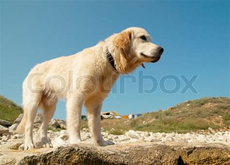 golden retriever gold coast golden retriever on the coast stock photo colourbox