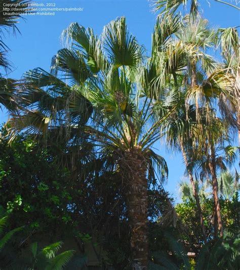 plantfiles pictures fan palm palm