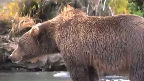 bear  heart attack caught  camera doovi