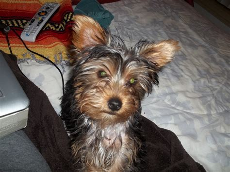 yorkie poo haircuts styles pictures pin yorkie poo haircut styles ajilbabcom portal on