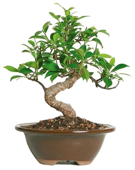 vasi per bonsai economici prezzi bonsai attrezzi e vasi per bonsai bonsai prezzi