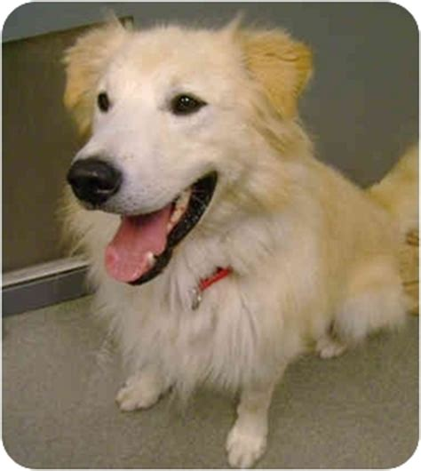 samoyed golden retriever mix willie adopted morrisville vt golden retriever samoyed mix
