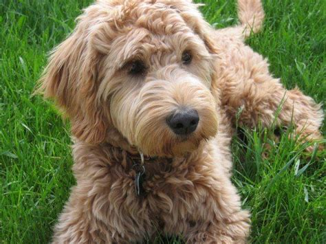 mini goldendoodles louisiana goldendoodles louisiana pictures to pin on