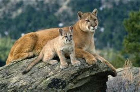 reset nvram mountain lion symbolic mountain lion meaning puma symbolism spirit