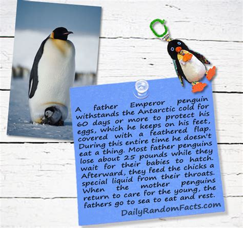 penguin facts for exciting facts about penguins facts about animals volume 18 books random facts emperor penguin fathers