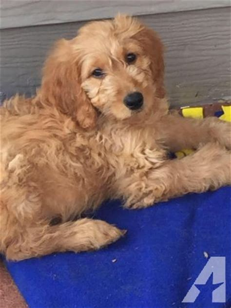 goldendoodle puppy week by week beautiful 8 week goldendoodle puppies for sale in san