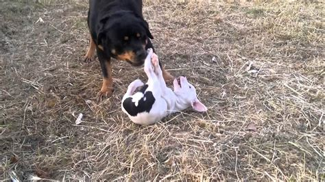 pitbull vs rottweiler fight displaying 19 images for rottweiler vs pitbull fight to pitbulls fighting