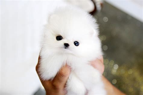 white micro teacup pomeranian puppy so tiny teacup pomeranian puppy so tiny fluffy with b flickr