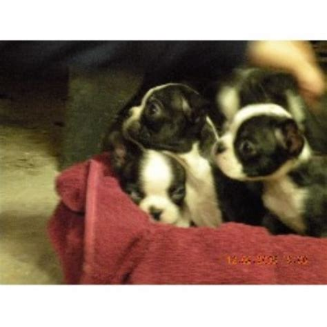 boston terrier puppies for sale in michigan boston terrier breeders in michigan breeds picture