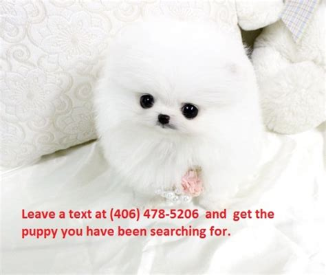 teacup pomeranian puppies for sale in nebraska stunning white teacup pomeranian puppies for sale for sale in omaha nebraska