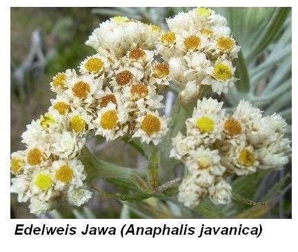 Edelweis Seri 2 tanaman endemik indonesia tanamanbaru