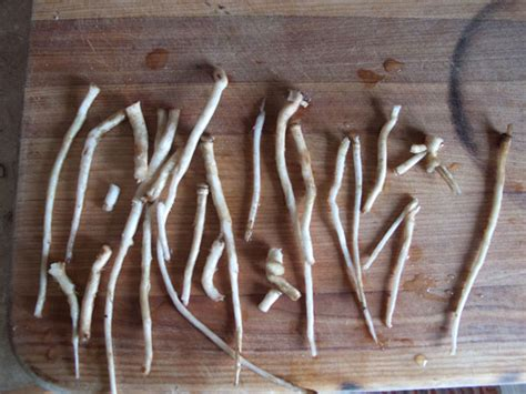 Planters Wart Root by The Gallery For Gt Plantar Warts Roots