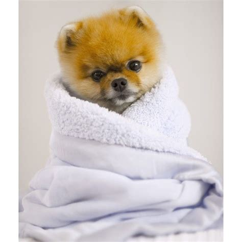 pomeranian jiffpom 86 best images about jiffpom on pomeranian puppy cutest dogs and puppys