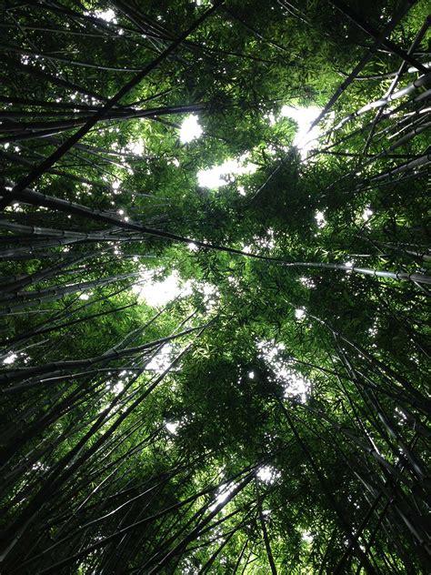 bamboo paper bamboo renewable resource